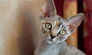 Характер кошек породы Девон рекс