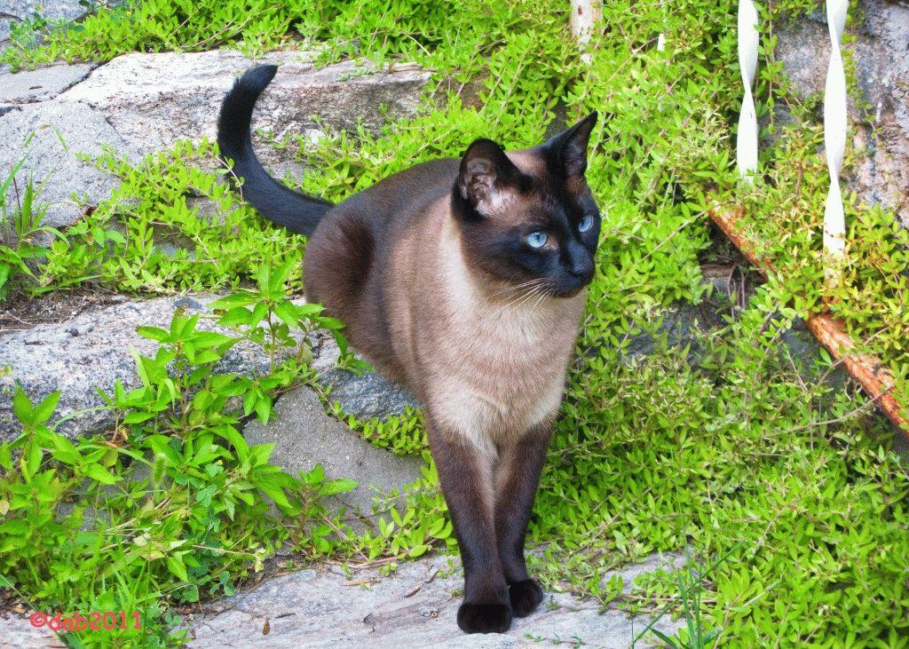 Характер сиамских кошек