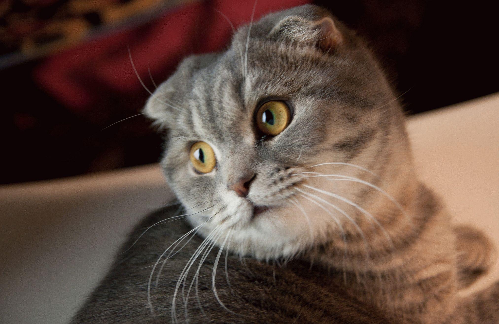 фото породы вислоухой кошки