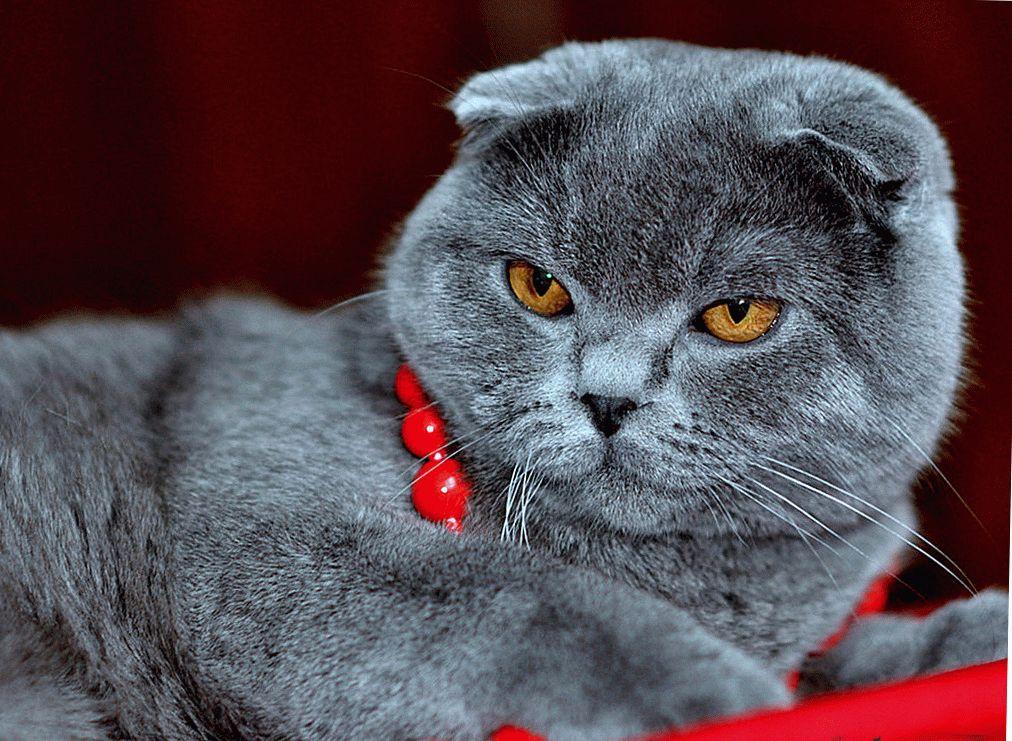 Шотландська висловуха кішка фото