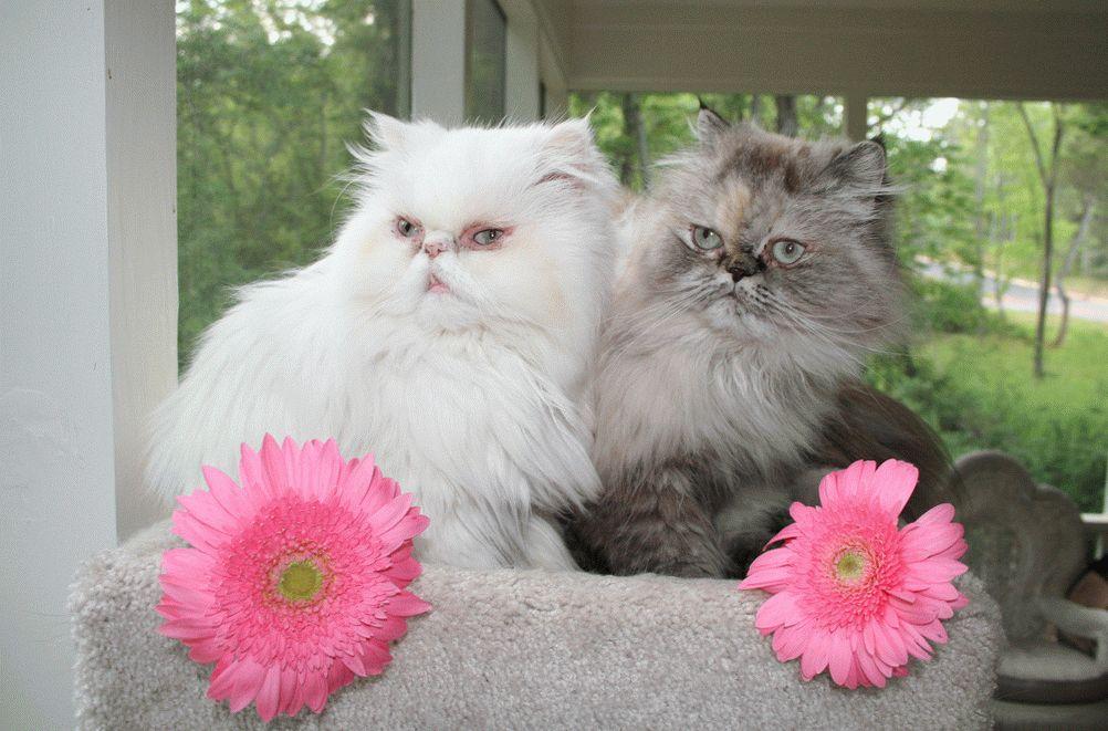 белая персидская кошка фото