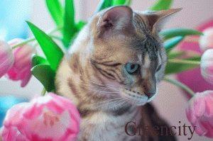 бенгальская кошка видео