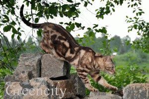 бенгальская кошка описание