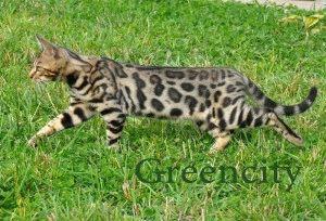 бенгальская кошка цена