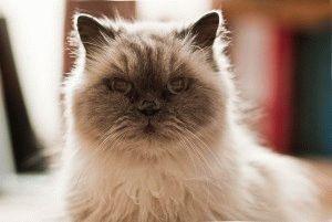 гималайская порода кошек фото