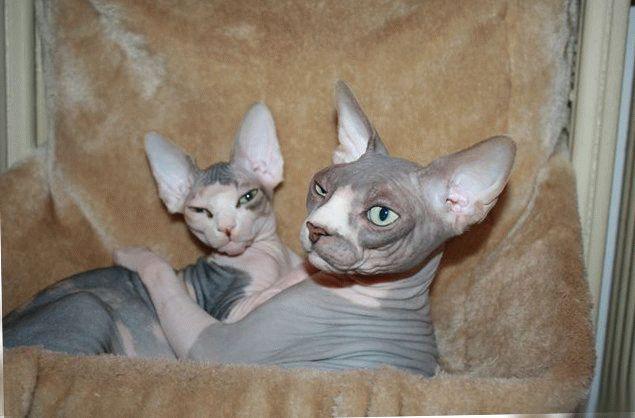 канадский сфинкс кошка фото