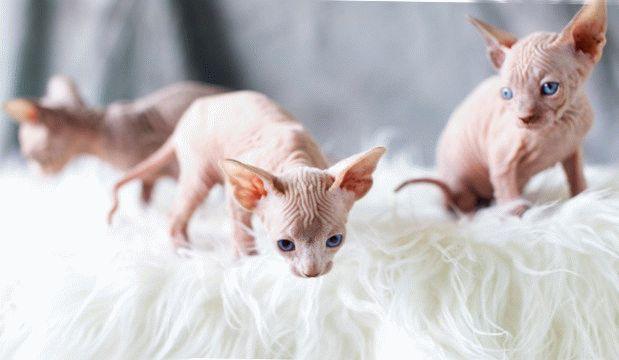 Уход за кошками персидская