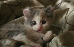 котята американского керла фото