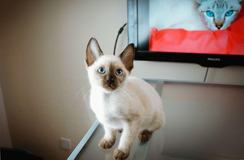 котята сиамской кошки фото