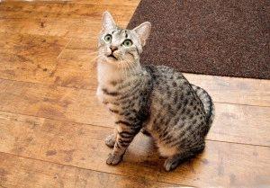кот египетский мау