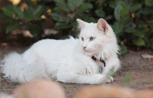 кошка турецкая ангора фото