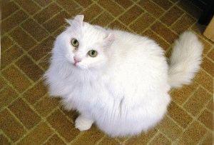 кошки американский керл фото