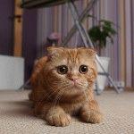 кошки породы шотландская вислоухая фото