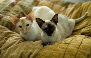 кошки сиамские видео