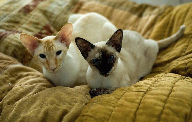 Породы кошек с большими ушами - Сиамская кошка