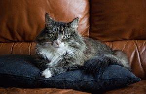 норвежская лесная кошка описание породы