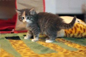 норвежская лесная кошка фото котят