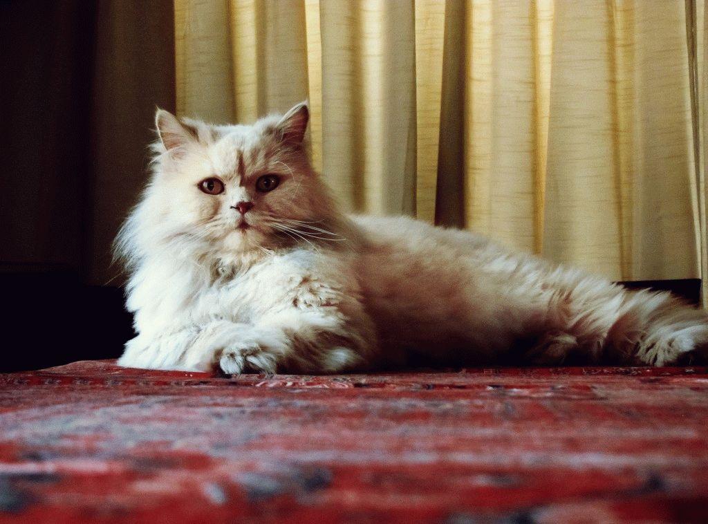 Породы кошек для квартиры - персидская кошка