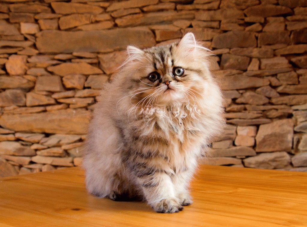Персидская кошка - описание, характер, фото, цена ...: http://murlo.org/ru/persidskaya-koshka/