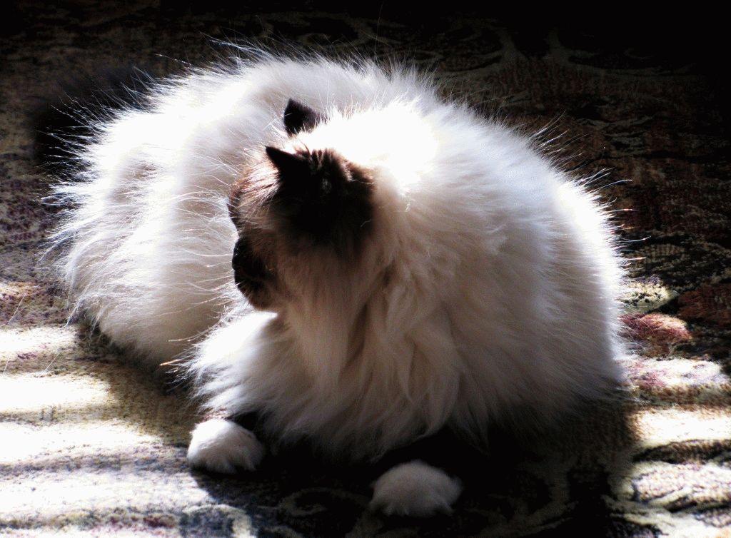 персидские кошки болезни