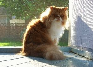 персидские кошки видео