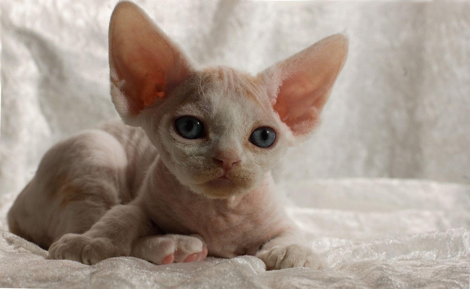 Популярные породы кошек с большими глазами с фотографиями