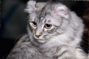 порода кошек американский керл фото