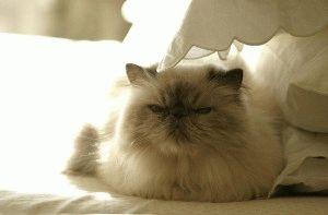порода кошек гималайская фото
