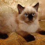 порода кошек гималайская