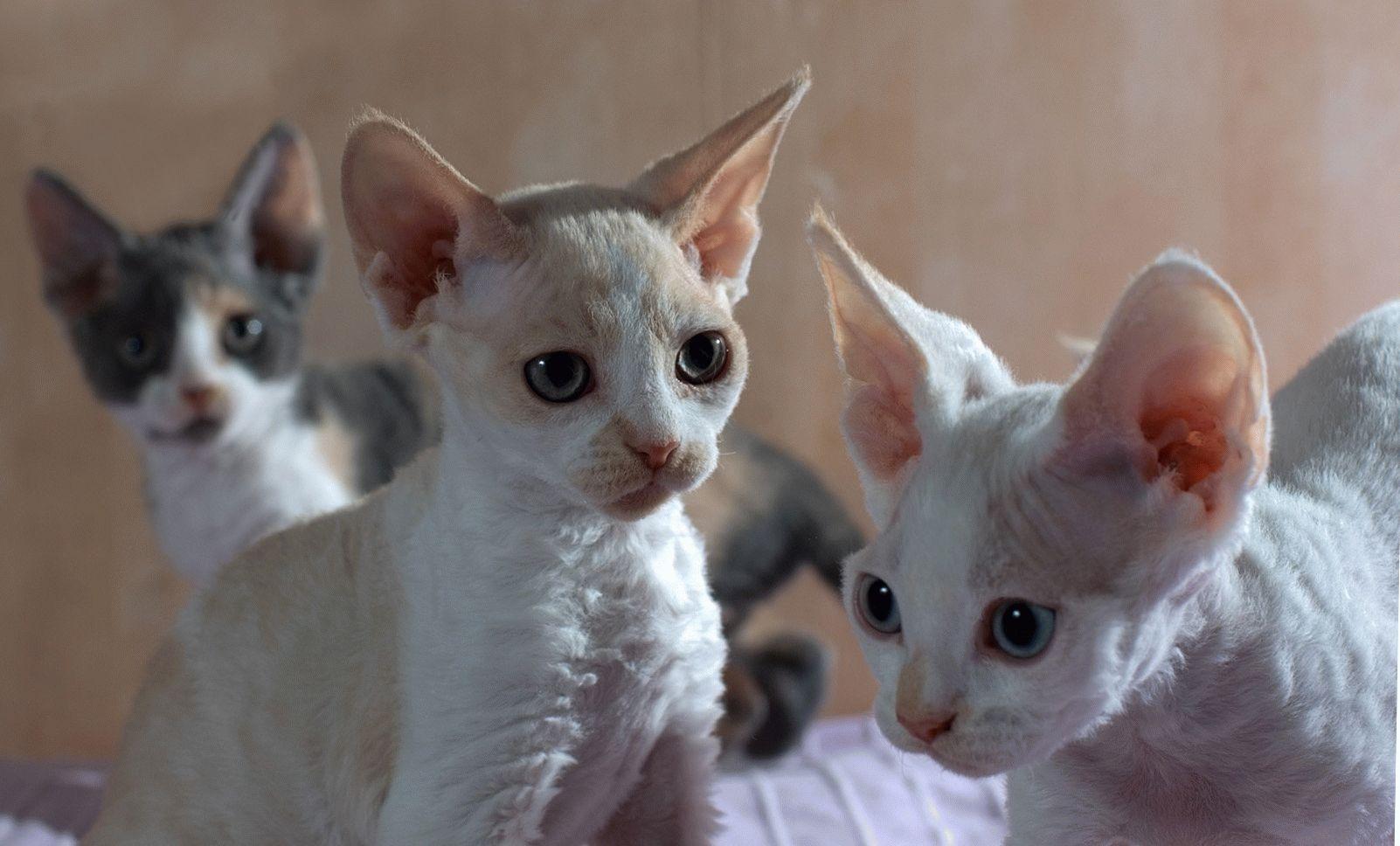 фото девон рекс кошка