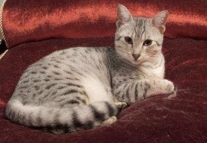 порода кошек египетский мау фото
