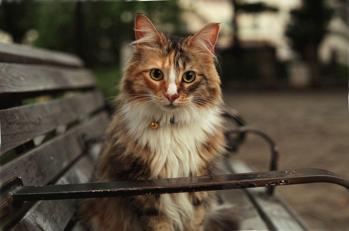 кошка фото норвежская лесная