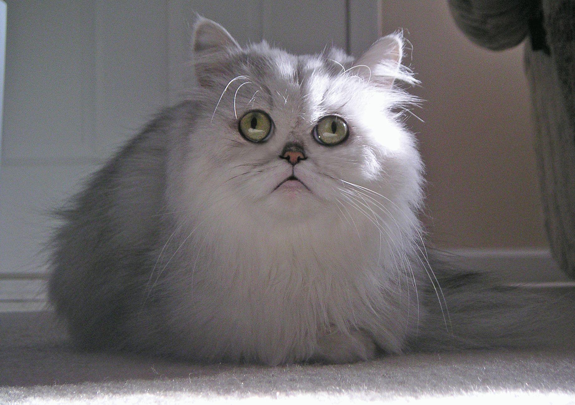 порода кошек персы фото