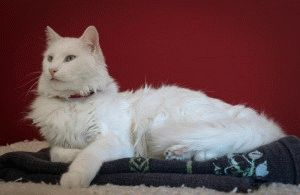 порода кошек турецкий ван фото