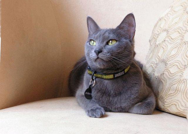 порода кошки русская голубая фото