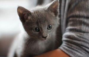 русская голубая кошка котята