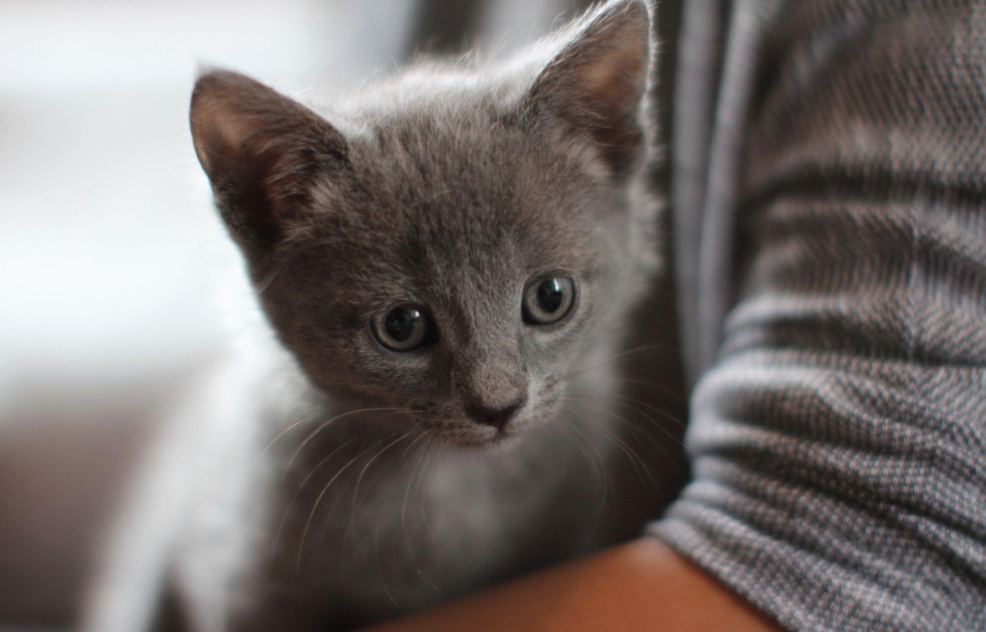 кошка породы голубая русская фото