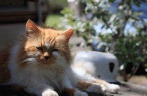 рыжие персидские кошки фото