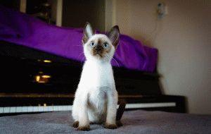 Сиамский котенок фото.