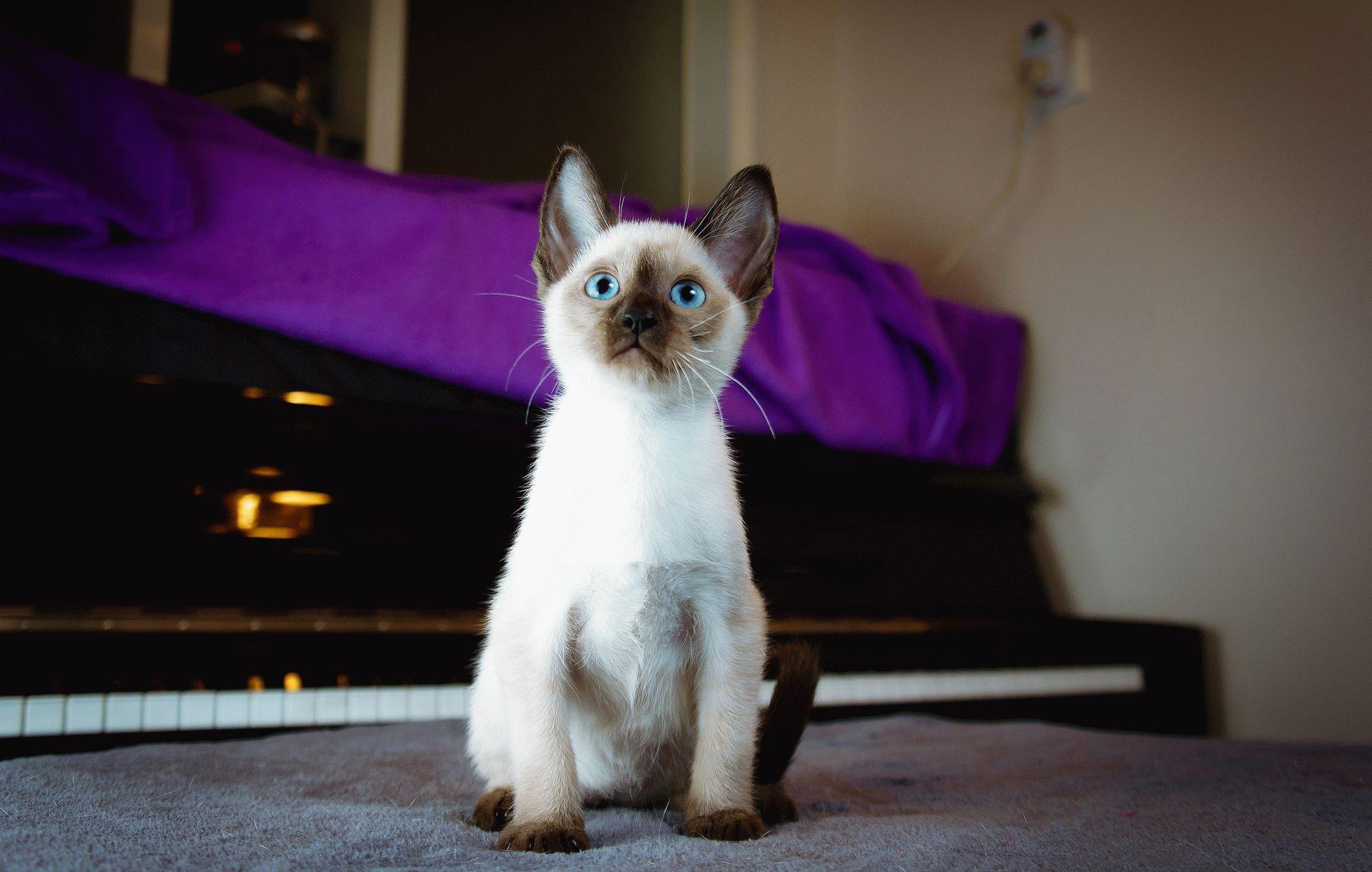 Какого цвета кошки сиамского цвета