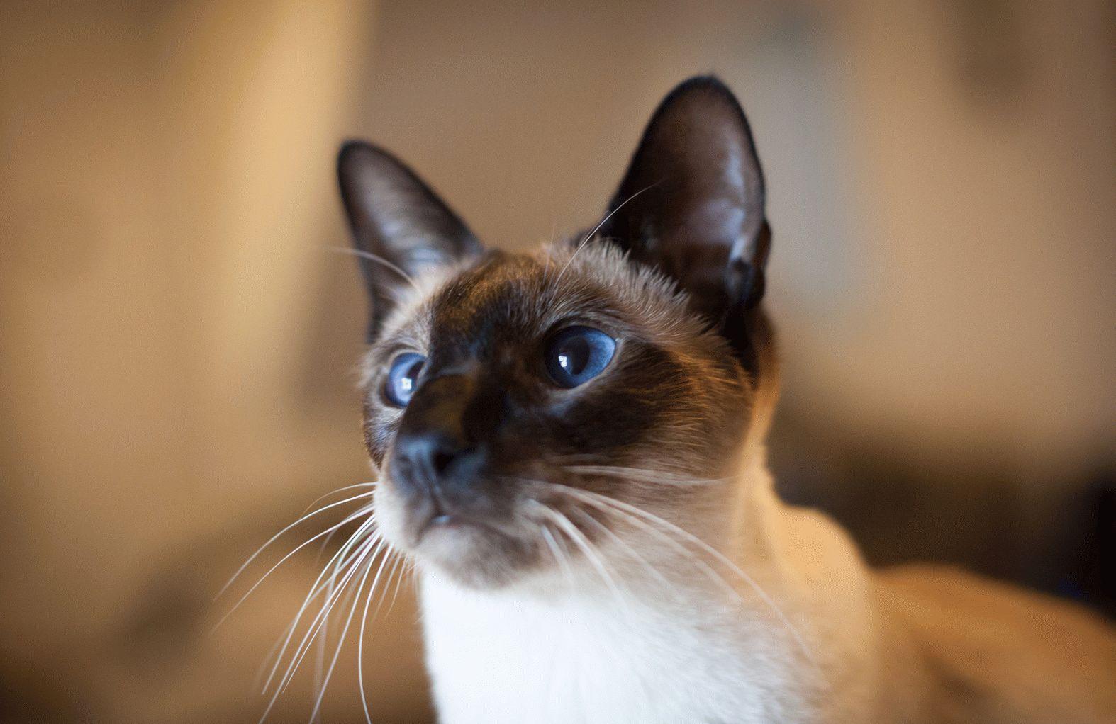 найти породу кошки с фотографии