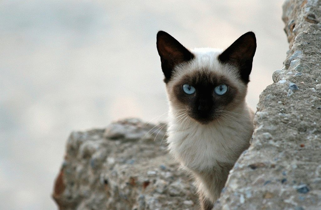 сиамские кошки тайские