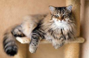 сибирская кошка характер