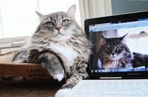 сибирская порода кошек описание