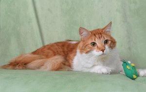турецкая ангора кот