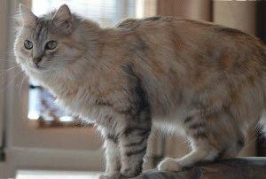 турецкая кошка ван цена