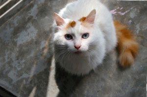 турецкий ван кошка фото 2