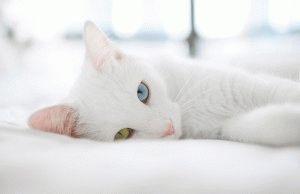 турецкий ван кошка фото