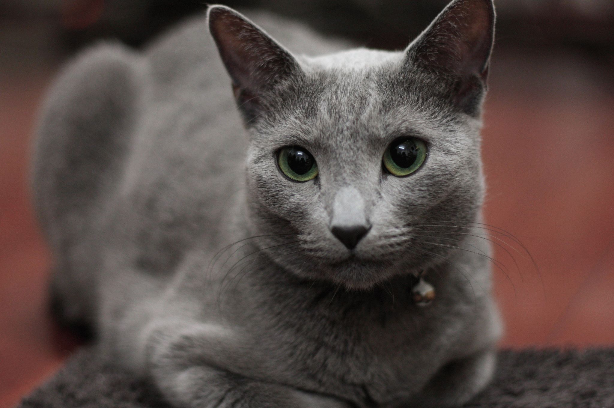 Русская голубая кошка  цена характер породы 33 фото