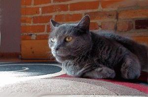 фото русской голубой породы кошек
